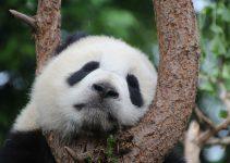 Panda's in de dierentuin